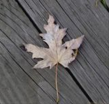 Final life span of a maple leaf.jpg(133)