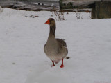 curious goose.jpg(107)
