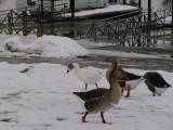 goose or gander.jpg(168)