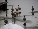 A gaggle of geese.jpg(107)