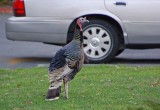 Wild Turkey in Rossmoor
