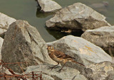 American Pipit On Rocks