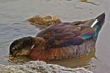 Multi-Colored Duck