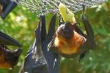 Bat Bite