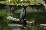 Double Crested Cormorant on a Log