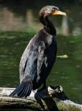 Closer View of Cormorant