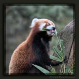 Little Brown Panda