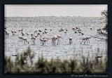 Flamingos of the Camargue