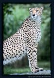 Cheetah at Cologne Zoo