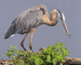 Blue Heron's Prize Catch