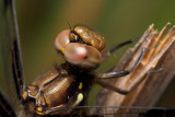 Common Whitetail - Female
