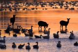 Sika Deer & Snow Geese at Sunset