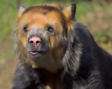 Spectacled Bear Close-Up