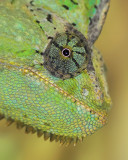 Veiled Chameleon Up Close