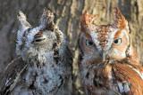 2 Eastern Screech Owls