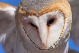 Barn Owl Action