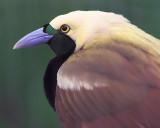 Raggiana Bird-of-paradise