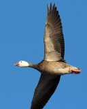 Goose from Underneath