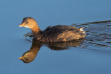 Pied-billed Grebe Reflecting