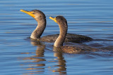 Cormorant Splash