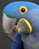 Hyacinthine Macaw