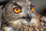 Eurasion Eagle-Owl