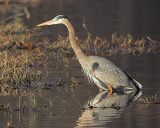 Blue Heron's Morning Light