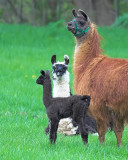 Three Llamas are not a crowd!