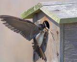 Tree Swallow Struggles