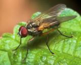Shenandoah Fly
