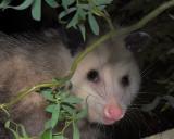Opossum Visits