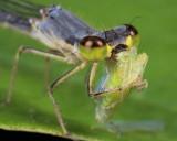 Fragile Forktail - Female