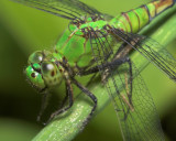 Eastern Pondhawk - Female (or juvenile male)