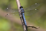 Spangled Skimmer - Male