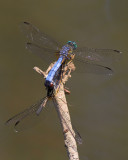 Blue Dashers Mating