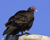 Watchful Vulture