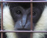 Curious Gibbon
