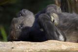 Gorilla Saturday
