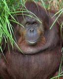 Friendly Orangutan