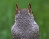 Squirrel Rear View