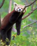 Lounging Red Panda