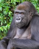 Curious Gorilla