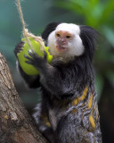 Geoffroy's Tufted-eared Marmoset