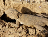 Reticulated Collared Lizard (Crotaphytus reticulatus)