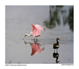 Roseate Spoonbill and duck