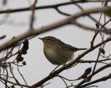 Brunsångare (Dusky Warbler)