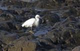 Silkeshäger (Little Egret)