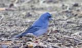 Blåfink (Blue Chaffinch)