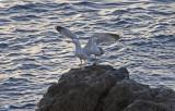 Gulfotat trut , Atlantic Gull (Larus Michaellis Atlantis)