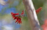Kanariesiska (Serinus canaria)